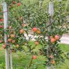 Thrive - Organic Compost Web - Apple Trees